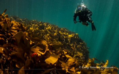 Diver over kelp forest. Picture from Vardeholmen Lindesnes