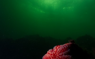 Wide angle of a seastar. Picture from Gulen Norway.