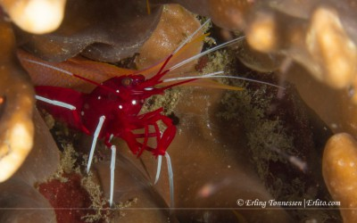 Debelius Cleaner Shrimp. Picture from Bali.