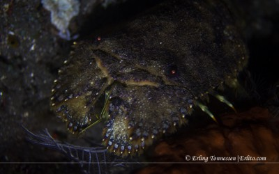 Sculptured Slipper Lobster. Picture from Bali.
