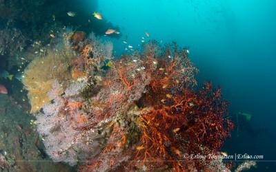 Corals at the Us liberty wreck. Tulamben. Bali