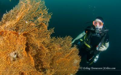 Diver and coral at the Us liberty wreck. Tulamben. Bali