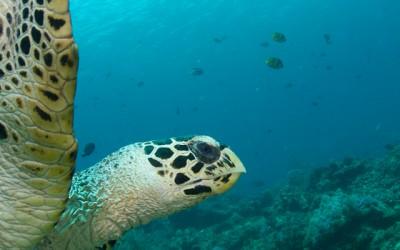 Turtle at Jemeluk Dropoff, Amed Bali