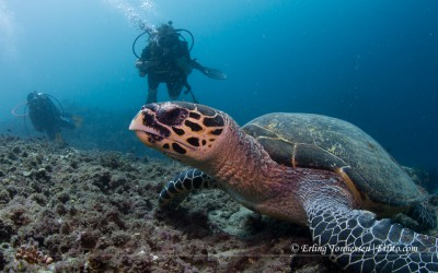 Divers and turtle at Jemeluk Dropoff, Amed Bali