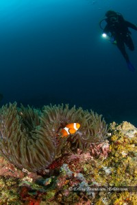 Antother clownfish trying to hide!