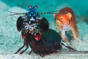 A Peacock Mantis Shrimp Chased by a Tiger!