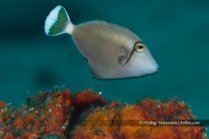 A small triggerfish