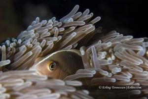 A clownfish hiding!