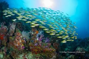 A school of fish @ koh tachai