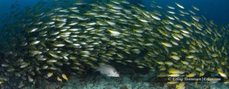 A school of fish @ Richelieu Rock